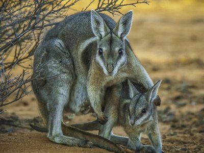 A Nailtail Wallaby with joey. Photo Steve Parish.