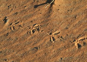 Malleefowl tracks in the sand at Eurardy Reserve, WA. Photo Leanne Hales.