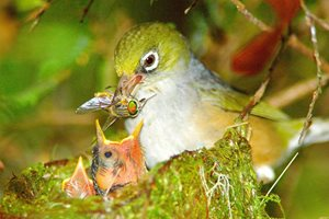 Nesting Grey-breasted Silvereye feeds its young. Photo Wayne Lawler / EcoPix.