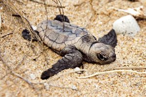 A baby Loggerhead Turtle makes its way through the dunes, destined for the ocean. Photo Annette Ruzicka.