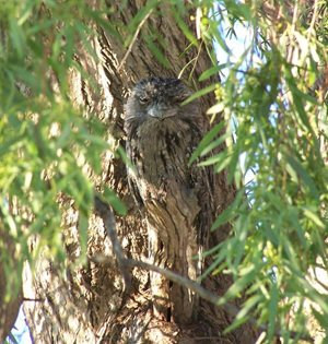 A Tawny Frogmouth disguised against the bark of a tree at Naree in NSW. Photo David and Sue Akers.