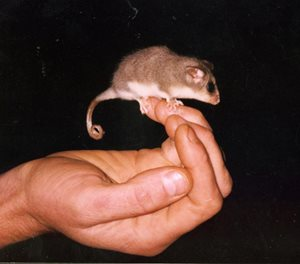 An Eastern Pygmy Possum. Photo Michael Pennay (FlickR)