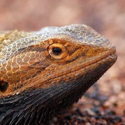Central Bearded Dragon. Photo by Glen Norris.