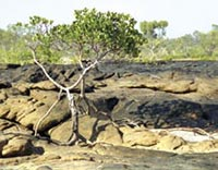 A mangrove tree growing in rocks on the foreshore, which is part of the saltwater country of the Wunambal Gaambera country. Photo courtesy The Wunambal Gaambera Aboriginal Corporation.