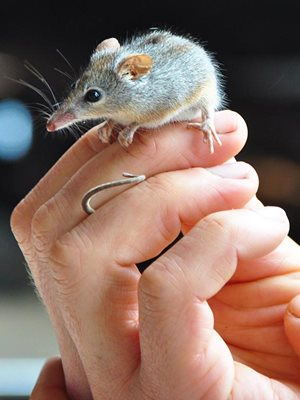 A Honey Possum in hand. Photo Annette Ruzicka.