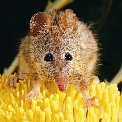 The diminutive Honey Possum. Photo Jiri Lochman / Lochman Transaprencies.