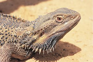 Bearded dragon. Photo Wayne Lawler/EcoPix.
