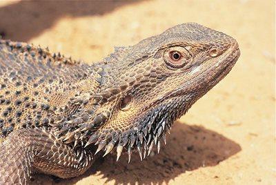 Bearded dragon. Photo Wayne Lawler/EcoPix.