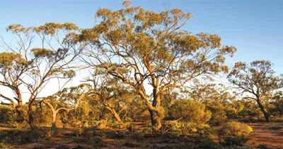 York Gum Woodlands on Charles Darwin Reserve. Photo Kerry Trapnell.