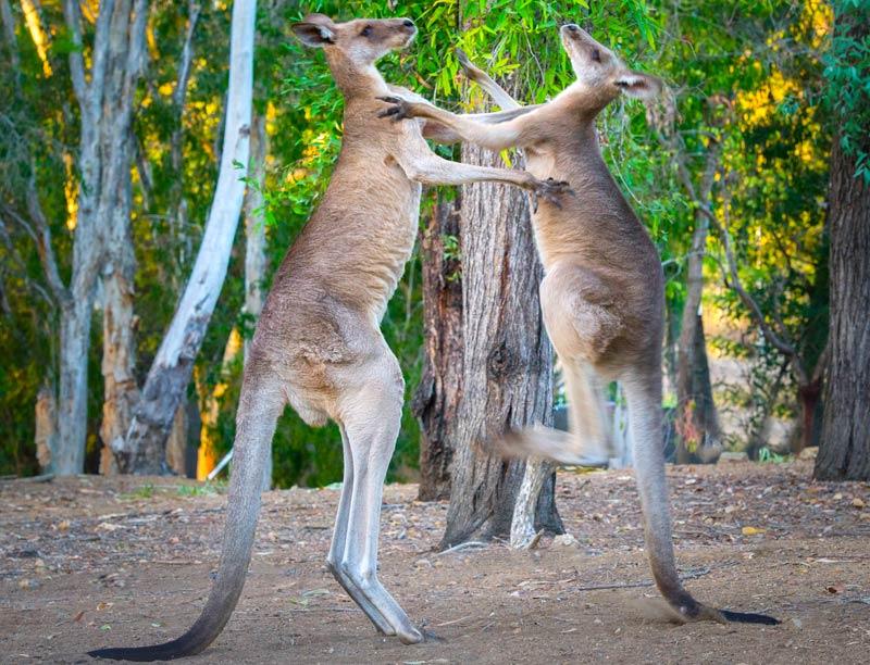 reputable site df88f b9fee Kangaroos Facts & Information - Bush Heritage Australia