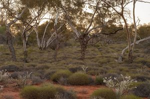 Mallee Spinifex Country on Hamelin Reserve. Photo Jiri Lochman / Lochman Transparencies.