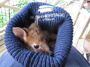 Rafiki, a Red-legged Pademelon in Penelope's care, looking at home in a Bush Heritage beanie.