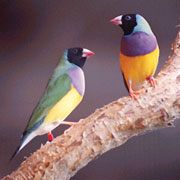 Gouldian finches. Photo courtesy Mareeba Wetland Foundation.