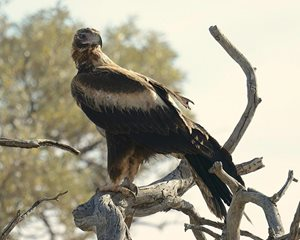 A Wedge-tailed Eagle at our Cravens Peak Reserve. Photo Ian Mayo.