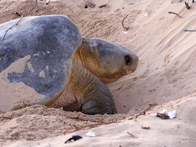 A Flatback Turtle on beaches adjacent to Reedy Creek. Photo Steve Heggie.