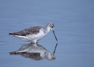 Common Greenshank. Photo by Jiri Lochman.
