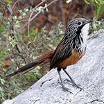 White-throated grasswren