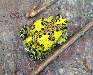 The remarkable patterns of the Crucifix Frog. Photo Victoria Brockfield.