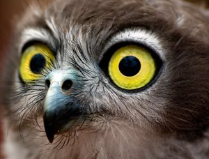 A Barking Owl. Photo Robin Ducker.*