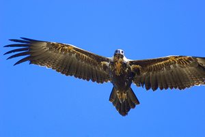 An impressive wingspan. Photo Wayne Lawler/EcoPix.