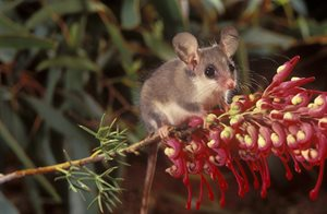 A Western Pygmy Possum. Photo Jiri Lochman/Lochman Transparencies.