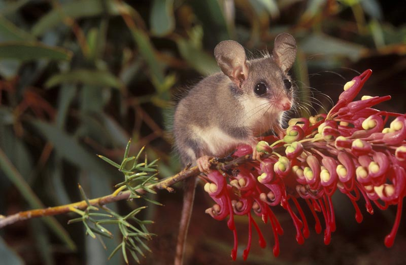 Pygmy Possums - Bush Heritage Australia