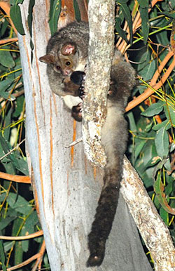 Greater Glider in tall forest red gum, Yourka Reserve, Qld. Photo Wayne Lawler / EcoPix.