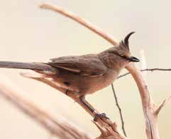 Chiming wedgebill (Psophodes occidentalis). Copyright FLPA / AUSCAPE All rights reserved.