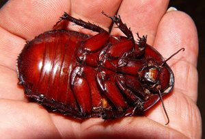 The Giant Burrowing Cockroach is a handful. Photo Steve and Alison Pearson.
