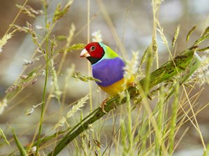 A Gouldian Finch (Erythrura gouldiae). Photo by Martin Willis.