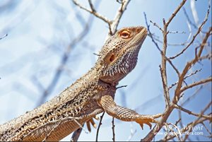 A Central Bearded Dragon in a tree. Photo Albert Wright.