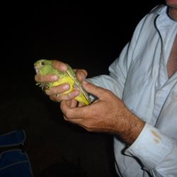 Night Parrot. Photo by Rachel Barr