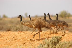 A group of Emus wandering the plains. Photo Wayne Lawler / EcoPix.
