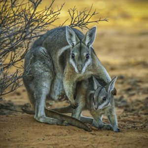 Nailtail Wallabies. Photo Steve Parish.