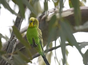 Budgerigar perched at Cravens Peak, Qld. Photo Ian Mayo.
