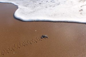 A Loggerhead hatchling struggles toward the ocean. Photo by Annette Ruzicka