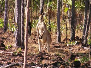 Antilopine Kangaroo in Livistona Palm dominated woodland. Photo Sally Vigilante.