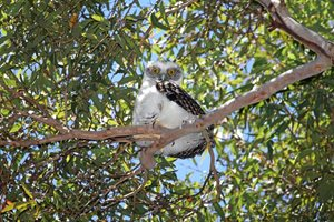 A Powerful Owl hatchling in suburban Sydney. Photo David Lochlin.*