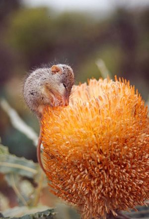 A Honey Possum enjoying a banksia. Photo Ross Bray.