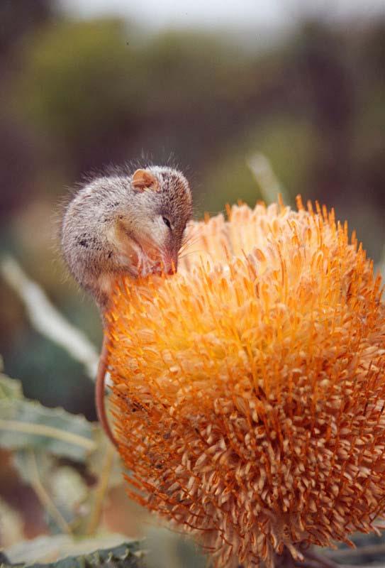 Honey possum tongue