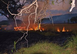 A controlled burn at Carnarvon Reserve, Qld. Photo Cathy Zwick.