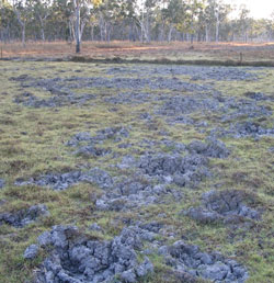 Damage from feral pigs on Yourka Reserve, Qld. Photo Paul Foreman.