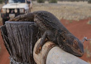 A Bearded Dragon relaxes on a gate. Photo TBC Glen Norris.