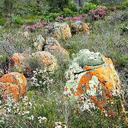 Lichen encrusted rocks among heath vegetation