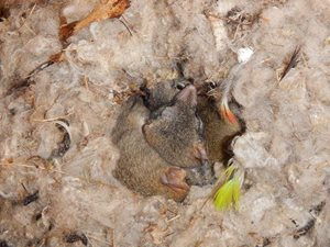 A huddle of Red-tailed Phascogales in a wool-lined nesting box. Photo Maureen Francesconi.