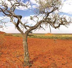 Georgina gidyea (Acacia georginae) tree on a pediplain, Cravens Peak Reserve. Photo Wayne Lawler/EcoPix.