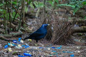 A Satin Bowerbird. Photo Steve Parish.