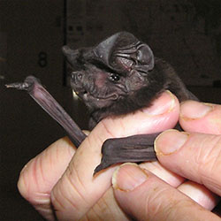 White-striped freetail bat