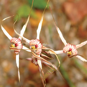 The spider orchid Caladenia sp. is one of many wildflower species protected at Eurardy Reserve, WA. Photo Libby Smith.
