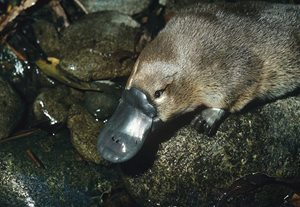 Platypus. Photo Jiri Lochman / Lochman Transparencies.